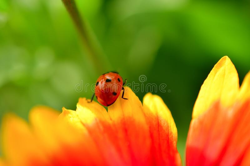 Colorful artistic cute ladybird examining the flower. Macro image of a good looking ladybird checking the edge of the colorful flower. the cute little guys color stock photos