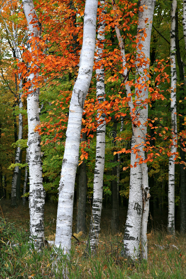 Download Colorful Aspen Birch Tree stock photo. Image of green - 6715184