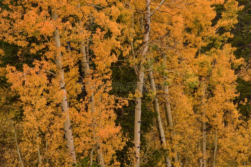 Colorful Aspens in Hope Valley. A view of a colorful group of aspen trees in Hope Valley, California on a beautiful fall afternoon stock image