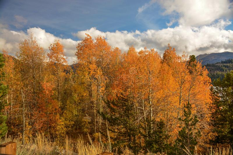 Colorful Aspens in Hope Valley. A view of a colorful group of aspen trees in Hope Valley, California on a beautiful fall afternoon royalty free stock photos