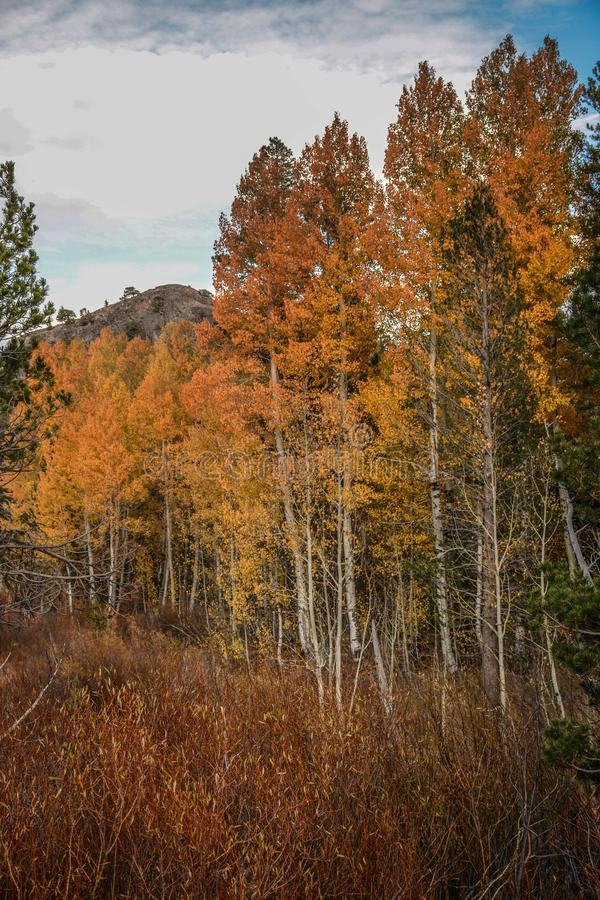 Colorful Aspens in Hope Valley. A view of a colorful group of aspen trees in Hope Valley, California on a beautiful fall afternoon royalty free stock photo