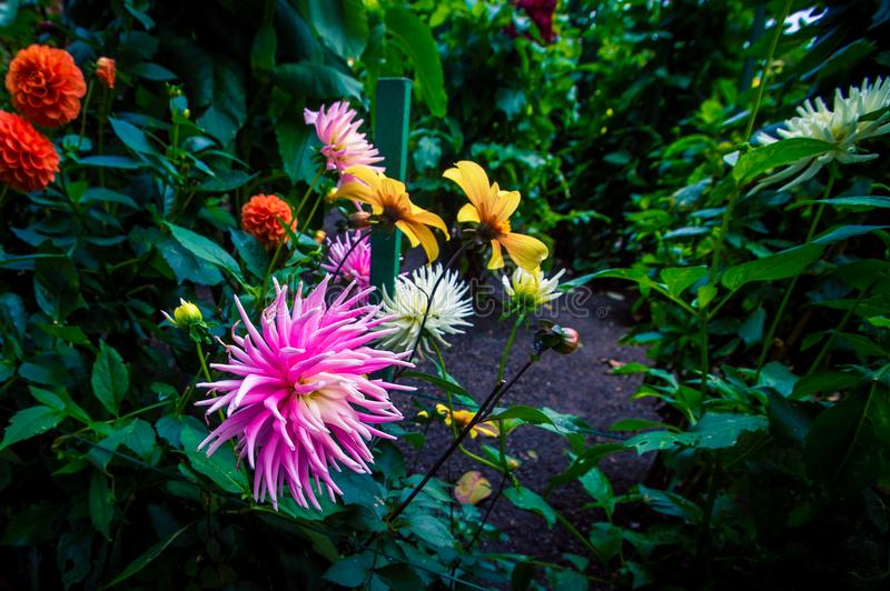 Pink dahlia in a flower bed. Colorful assorted blooming flowers in a garden in Victoria stock photos