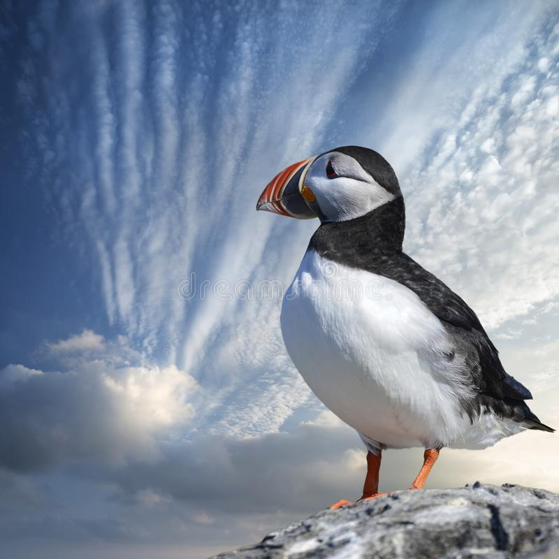 Colorful Atlantic Puffin or Comon Puffin Fratercula Arctica in Northumberland England on bright Spring day. Beautiful Atlantic Puffin or Comon Puffin Fratercula stock photography
