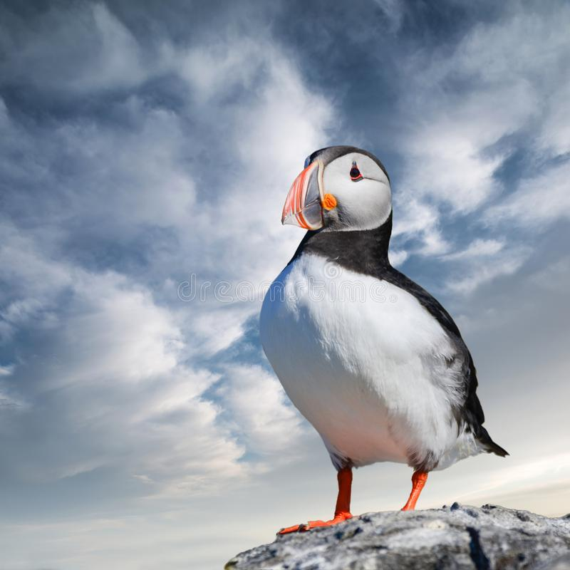 Colorful Atlantic Puffin or Comon Puffin Fratercula Arctica in Northumberland England on bright Spring day. Beautiful Atlantic Puffin or Comon Puffin Fratercula royalty free stock photography