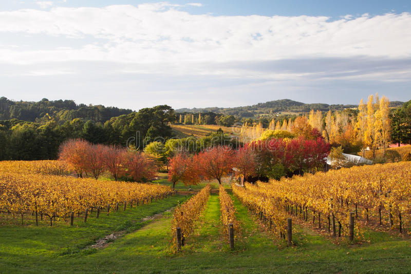 Colorful autumn in Adelaide Hills wine region. Autumn in a vineyard in the Adelaide Hills wine region royalty free stock images