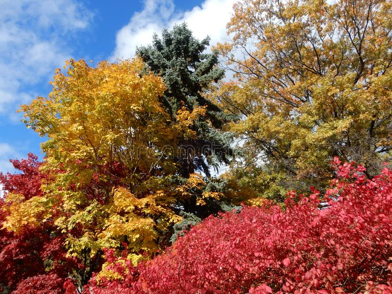 Colorful Autumn foliage against blue sky with puffy white clouds stock photography