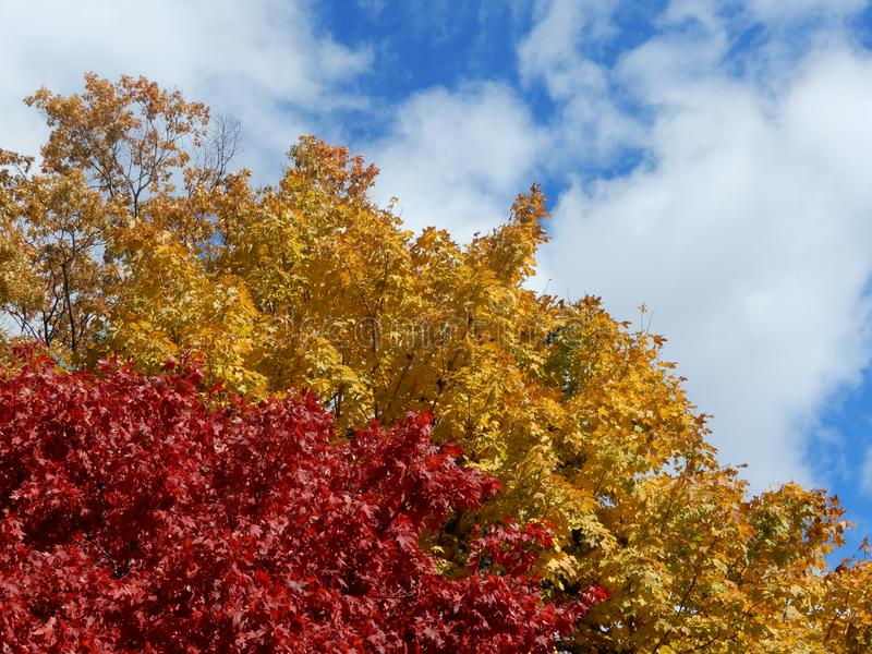 Colorful Autumn foliage against blue sky with puffy white clouds stock image