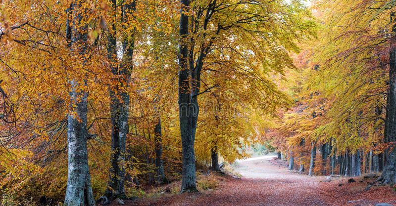 Colorful autumn forest. Autumn forest in heavy fog after rain royalty free stock photography
