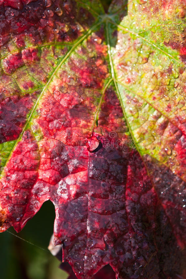 Colorful autumn grape leaf royalty free stock images