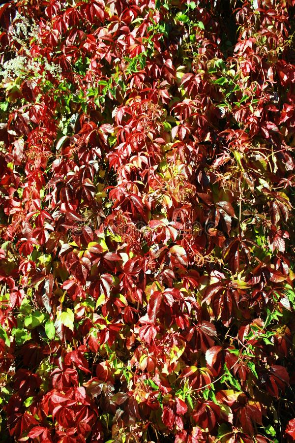 Colorful autumn ivy royalty free stock photography