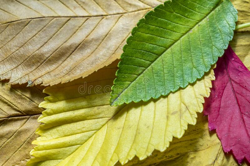Colorful autumn leaves background texture.  royalty free stock image