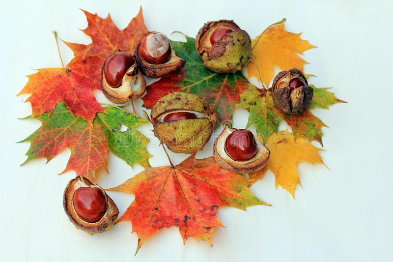 Colorful autumn leaves and chestnuts on a light wooden background royalty free stock image