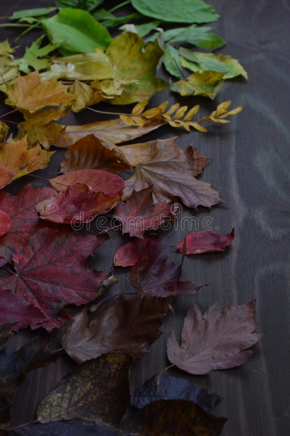 Colorful autumn leaves in color gradient on brown. Colorful autumn leaves in color gradient from green over yellow and orange to dark red and brown on brown wood stock images