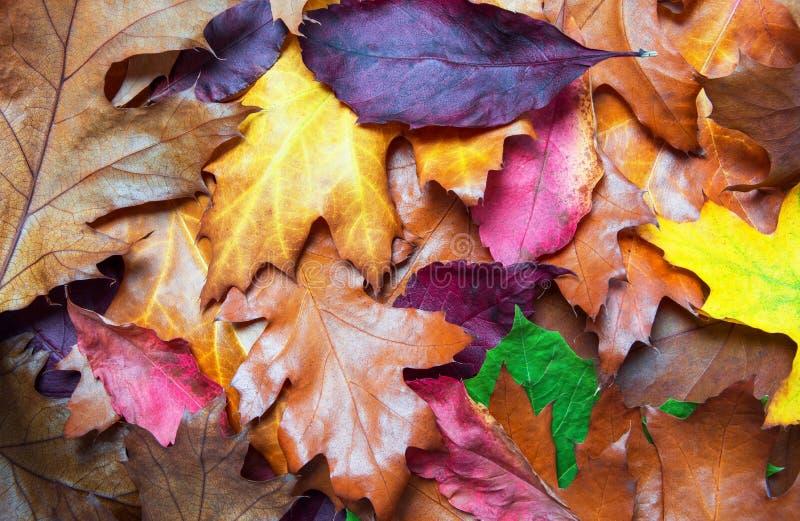 Colorful Autumn Leaves Lying On The Ground - Seasonal Autumn Background royalty free stock image