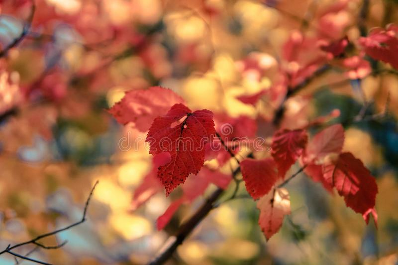 Colorful autumn leaves in sunlight, close-up photo. Colorful autumn leaves in sunlight, shallow focus royalty free stock photography