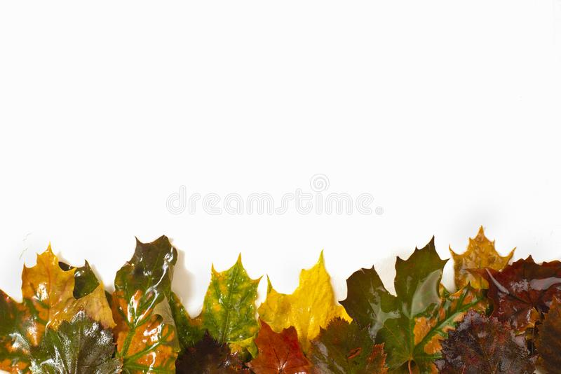 Colorful autumn leaves on a white background. stock photo