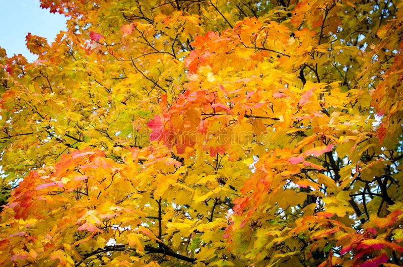 Colorful autumn maple leaves in a park stock photo