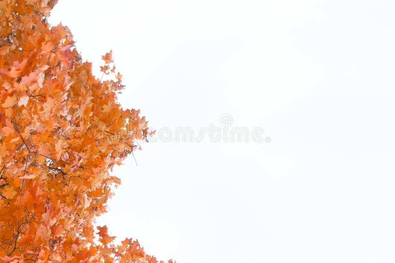Colorful autumn maple leaves frame. Isolated on white background stock photo