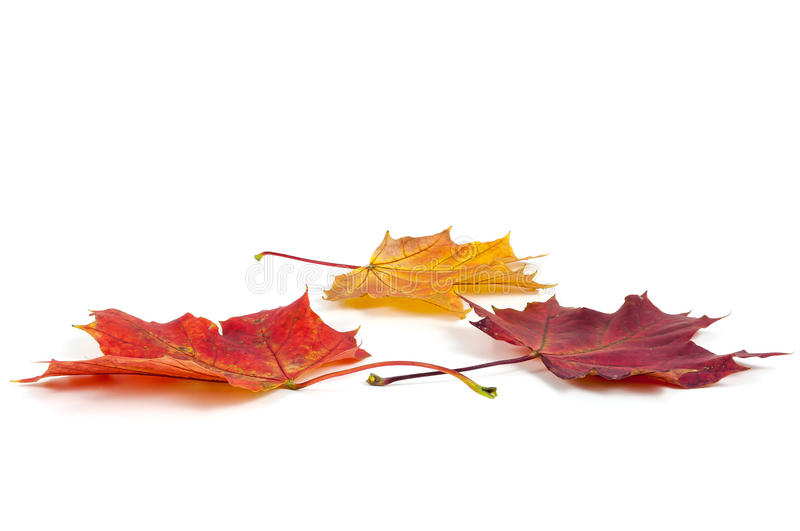 Colorful autumn maple leaves on white background royalty free stock photography