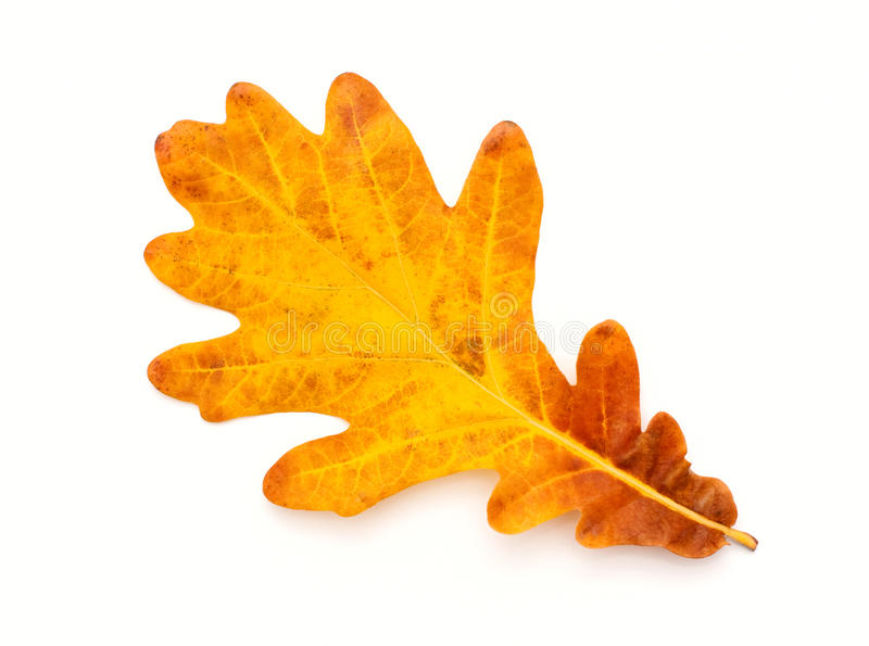 Colorful Autumn oak leaf royalty free stock photography
