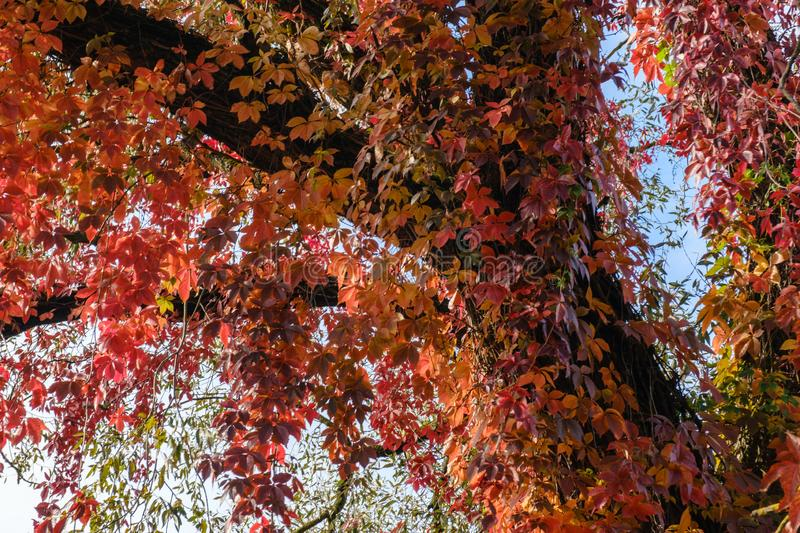 Colorful Autumn Parthenocissus quinquefolia, Virginia Creeper, Wild Grape. Abstract Red and Orange Autumn Leaves Background royalty free stock photo