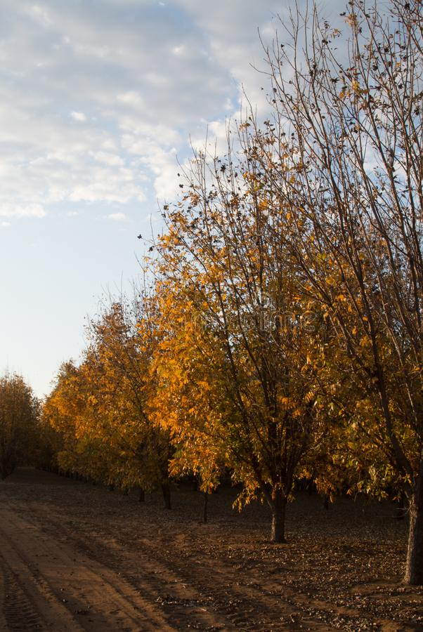 Autumn Pecan tree orchard with a cloudy sky. Colorful Autumn pecan tree orchard with the sky and some clouds royalty free stock photo