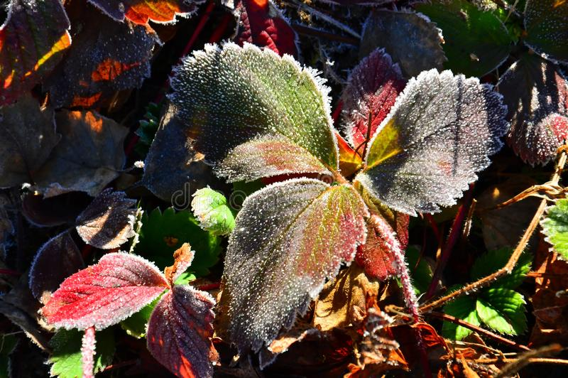 Colorful autumn strawberry leaves. Covered with morning frost. Close up. Colorful autumn strawberry leaves. Covered with morning frost royalty free stock photos
