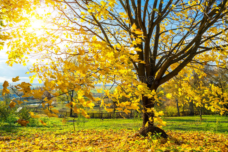Colorful autumn tree royalty free stock images