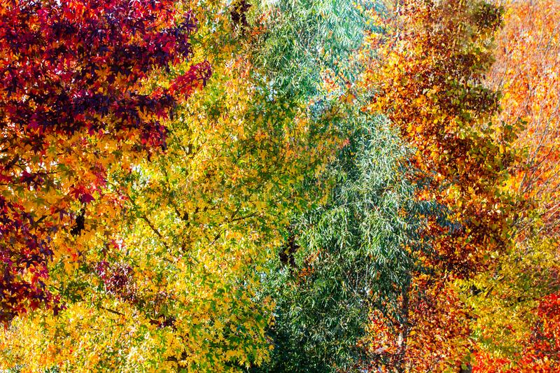 Colorful autumn tree in a different color hue diversity concept. Colorful autumn tree in a different green, red, yellow, orange, golden and red color hue on a stock images