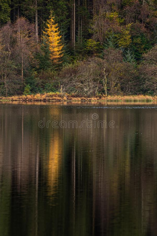 A golden tree reflecting in clam waters of Loch Chon stock images