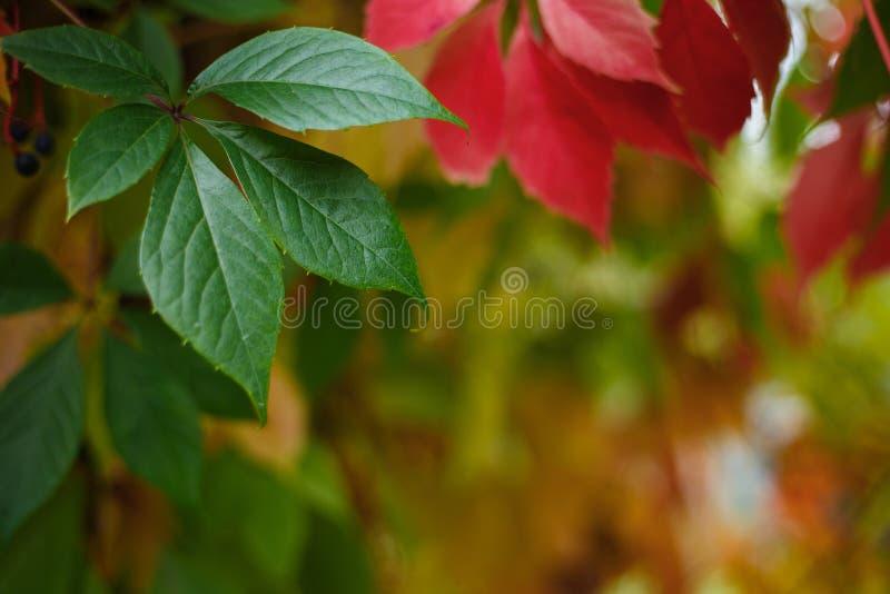 Colorful autumn virginia creeper leaves. Botanical, nature, gard stock images
