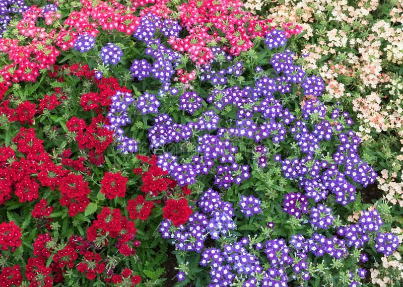 Colorful background of the fresh sweet alyssum. royalty free stock images