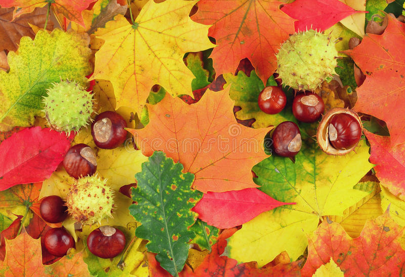 Colorful background made of autumn leaves and chestnuts royalty free stock images