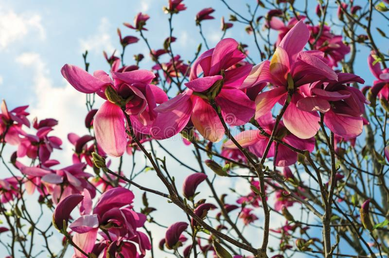 Colorful background of purple magnolia in spring, closeup. Amazing scenery with flowers. Beautiful pink magnolia petals against bl royalty free stock photography