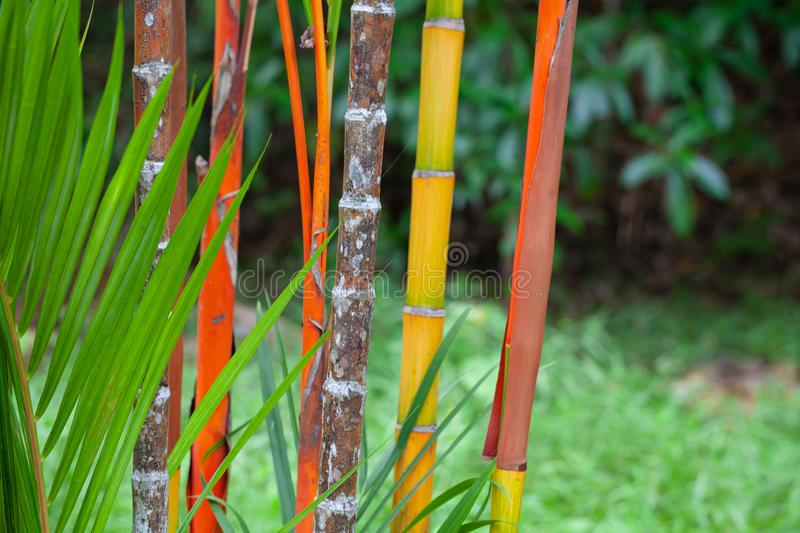 Colorful bamboo stems and palm tee leaves stock image