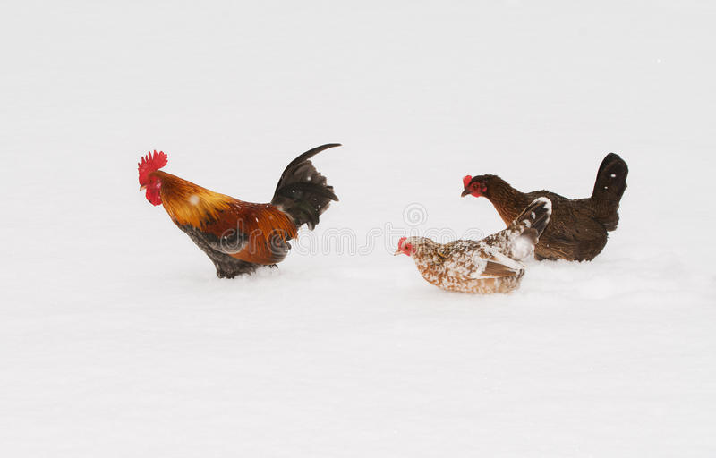 Colorful bantam rooster leading his ladies through deep snow stock photography