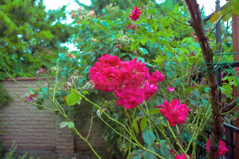 Colorful, beautiful delicate rose in the garden stock photo