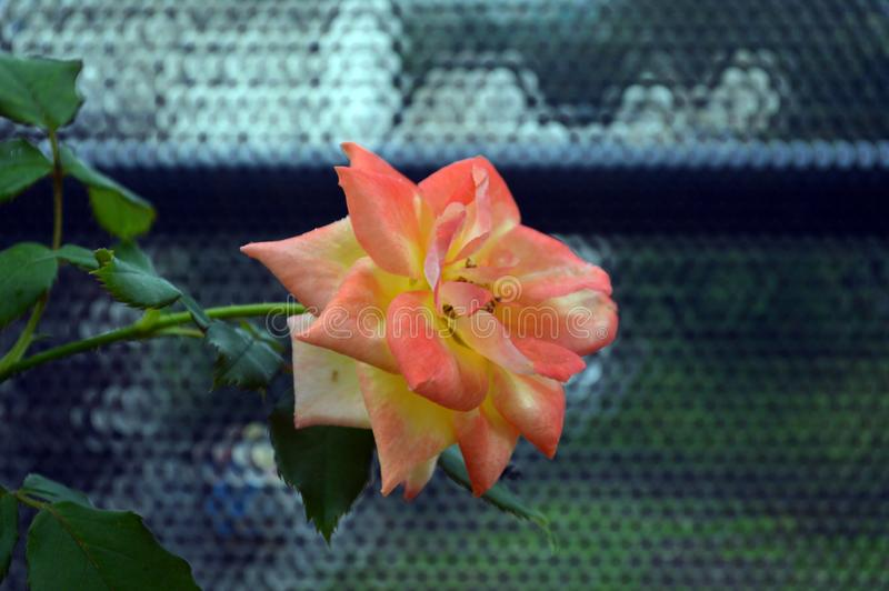 Colorful, beautiful, delicate rose in the garden royalty free stock photo