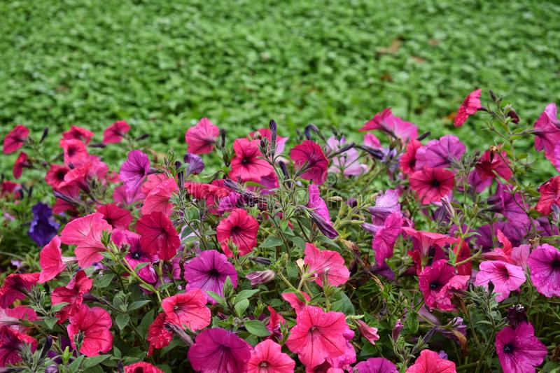 Colorful flowers in water droplets green flowerbed lawn after royalty free stock photos