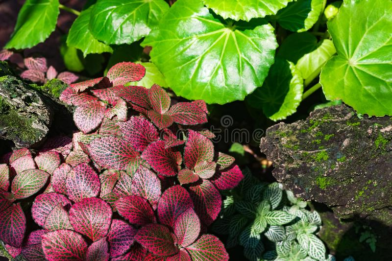 Colorful beautiful pink green leaves of nerve plant or mosaic pl stock photo