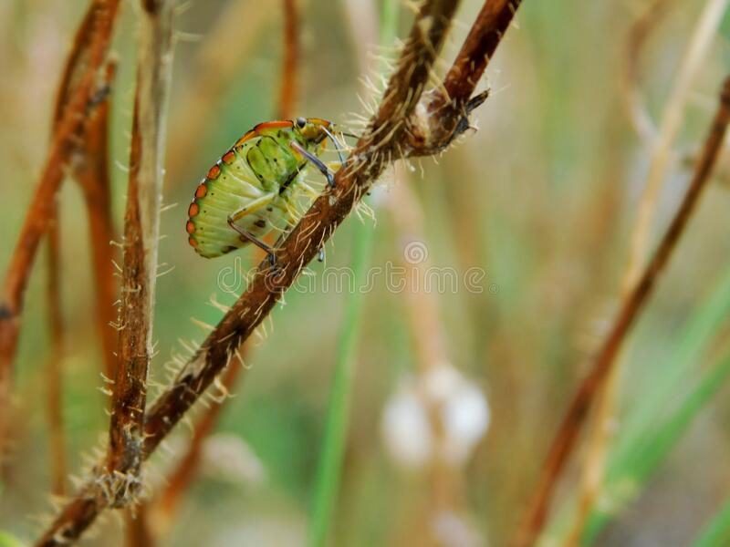 The colorful beetle climbs along the hairy stem royalty free stock photo