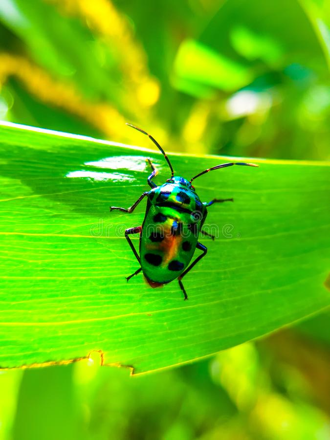 A colorful beetle on this images on the green leaf royalty free stock photo
