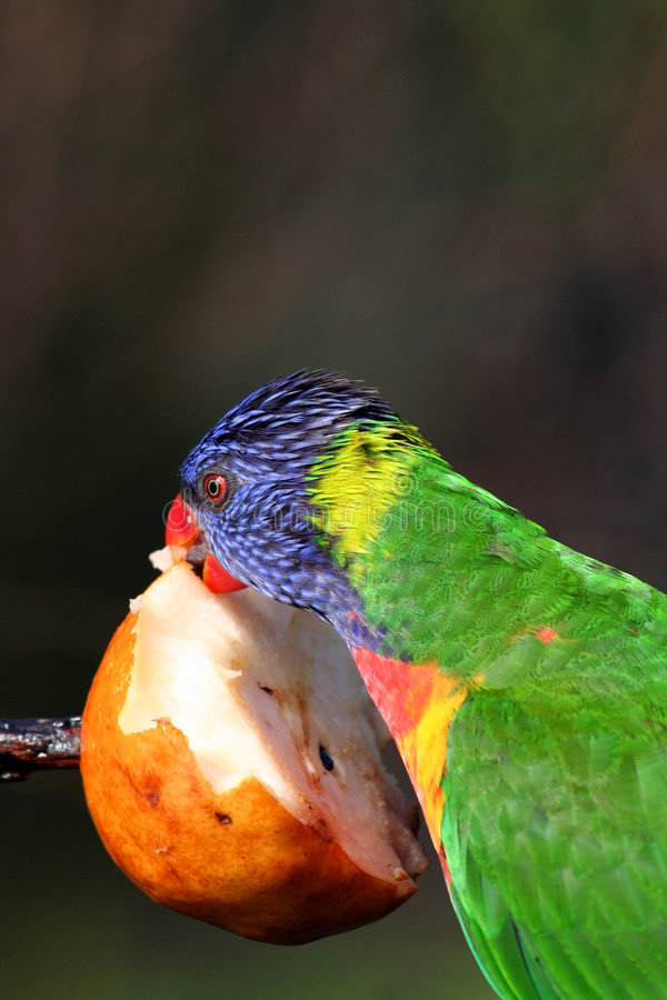 Free Colorful Bird Eating An Apple Royalty Free Stock Photo - 866265