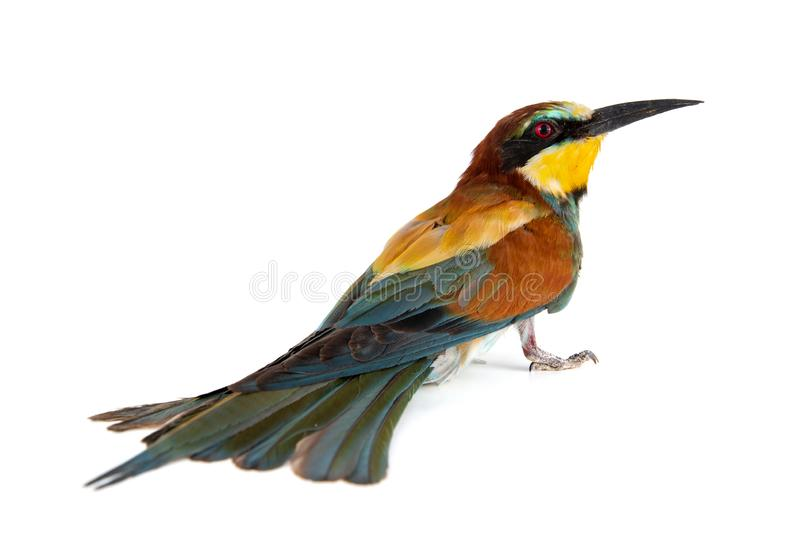 Colorful bird, European bee eater, Merops apiaster, isolated on white background royalty free stock photo