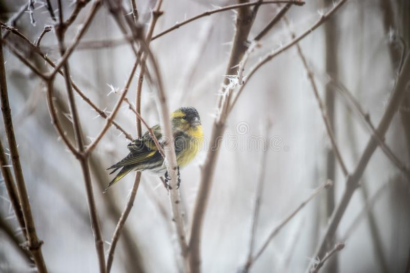 Colorful bird & x28;siskin& x29; sitting on a branch, winter and ice crystals. Bird is sitting on a tree branch in the winter snow northern nature wildlife stock photo