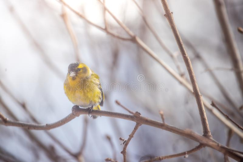 Colorful bird & x28;siskin& x29; sitting on a branch, winter. Bird is sitting on a tree branch in the winter snow northern nature wildlife colors male cold storm royalty free stock photos