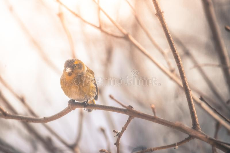 Colorful bird & x28;siskin& x29; sitting on a branch, winter. Bird is sitting on a tree branch in the winter snow northern nature wildlife colors male cold storm stock images