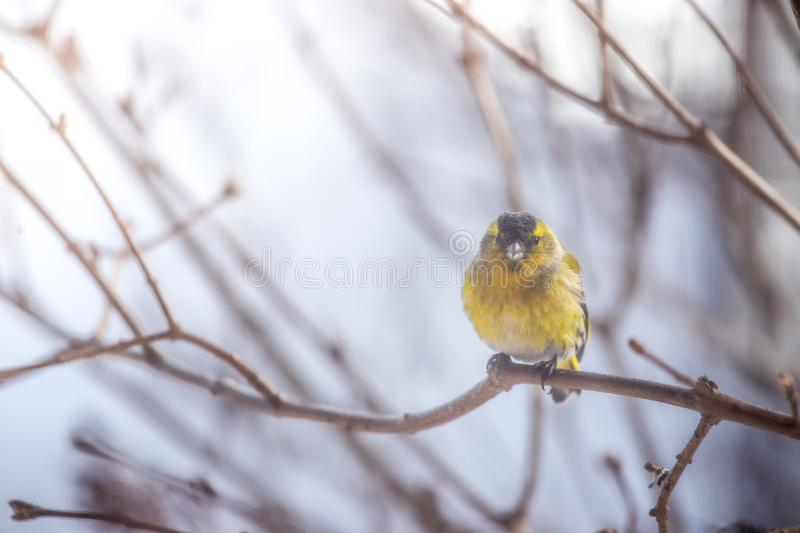 Colorful bird & x28;siskin& x29; sitting on a branch, winter. Bird is sitting on a tree branch in the winter snow northern nature wildlife colors male cold storm royalty free stock photo