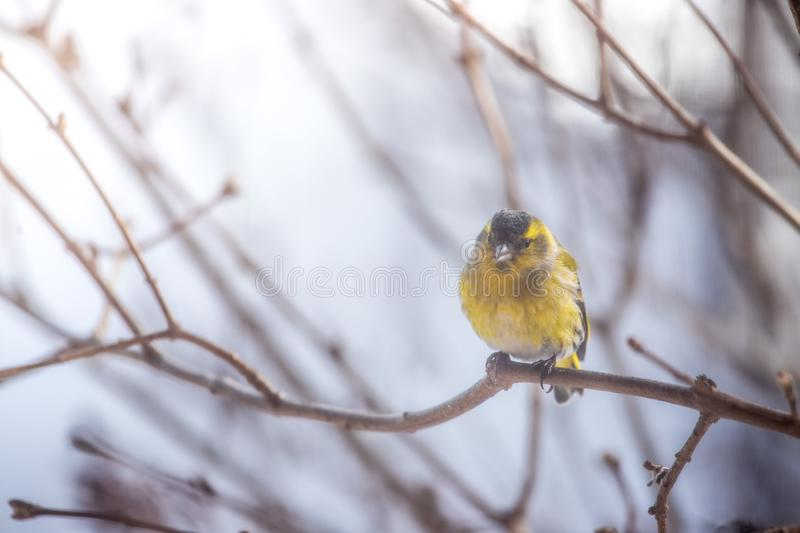 Colorful bird & x28;siskin& x29; sitting on a branch, winter. Bird is sitting on a tree branch in the winter snow northern nature wildlife colors male cold storm stock image