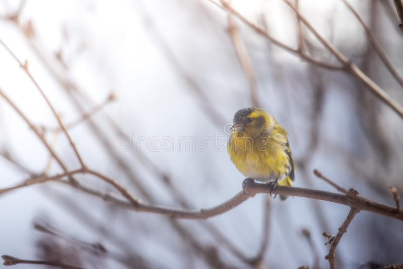 Colorful bird & x28;siskin& x29; sitting on a branch, winter. Bird is sitting on a tree branch in the winter snow northern nature wildlife colors male cold storm stock photo